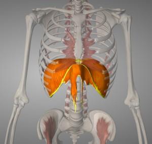 Diafragma spierkopie